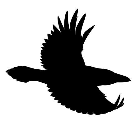 Realistic raven flying. Stencil. Monochrome vector illustration of black silhouette of smart bird Corvus Corax isolated on white background. Element for your design, print, decoration.