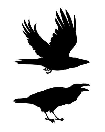 Realistic raven flying and sitting. Caw. Monochrome vector illustration of black silhouettes of smart bird Corvus Corax isolated on white background. Element for your design, print. Stencil. Çizim