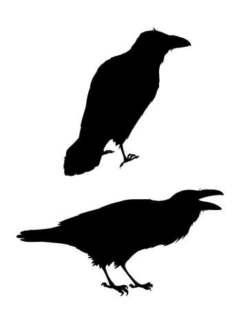 Couple of realistic ravens sitting.Monochrome vector illustration of black silhouettes of smart birds Corvus Corax isolated on white background. Element for your design, print. Stencil.