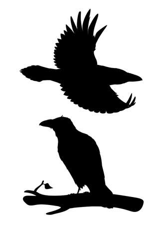 Realistic raven flying and sitting on a branch. Stencil. Monochrome vector illustration of black silhouette of smart bird Corvus Corax on white background. Element for design, print, decoration. 向量圖像