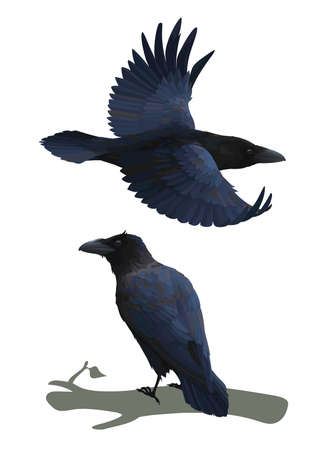 Realistic raven flying and sitting on a branch. Colorful vector illustration of smart bird Corvus Corax in hand drawn realistic style isolated on white background. Element for your design, print.