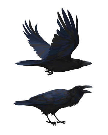 Realistic raven flying and sitting. Caw. Colorful vector illustration of smart bird Corvus Corax in hand drawn realistic style isolated on white background. Element for your design, print.