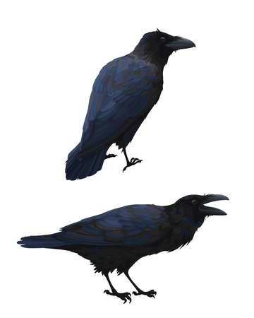 Couple of realistic ravens sitting. Vector illustration of smart birds Corvus Corax in hand drawn realistic style isolated on white background. Element for your design, print. Caw.