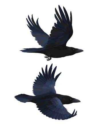 Couple of realistic ravens flying. Vector illustration of smart birds Corvus Corax in hand drawn realistic style isolated on white background. Element for your design, print. Black feathers.
