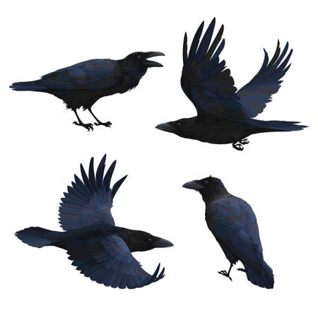 Set of realistic ravens flying and sitting. Vector illustration of smart birds Corvus Corax in hand drawn realistic style isolated on white background. Northern Raven with black feathers. 向量圖像