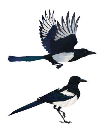 Realistic magpie flying and sitting. Colorful vector illustration of intelligent bird Eurasian Magpie in hand drawn realistic style isolated on white background. Element for your design, print.