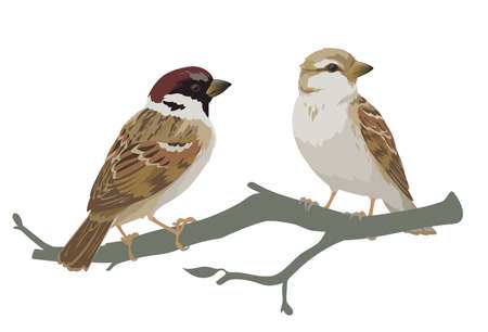 Couple of realistic sparrows sitting on branch. Vector illustration of little birds sparrows in hand drawn realistic style isolated on white background. Element for your design, print.