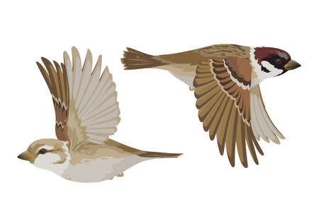 Couple of realistic sparrows flying. Vector illustration of little birds sparrows in hand drawn realistic style isolated on white background. Element for your design, print. 向量圖像