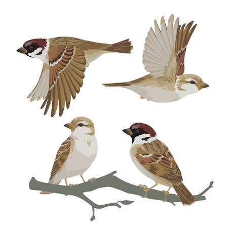 Set of realistic sparrows flying and sitting on branch. Vector illustration of little birds sparrows in hand drawn realistic style isolated on white background. Element for your design, print. Vecteurs