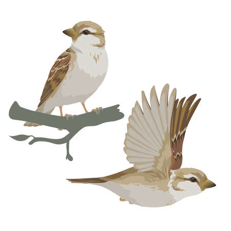Realistic sparrow flying and sitting on branch. Vector illustration of little female bird sparrow in hand drawn realistic style isolated on white background. Element for your design, print. Çizim