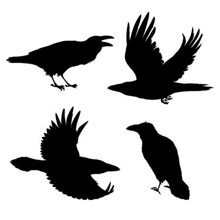 Set of realistic ravens flying and sitting. Monochrome vector illustration of black silhouettes of smart birds Corvus Corax isolated on white background. Northern Raven stencil. 向量圖像