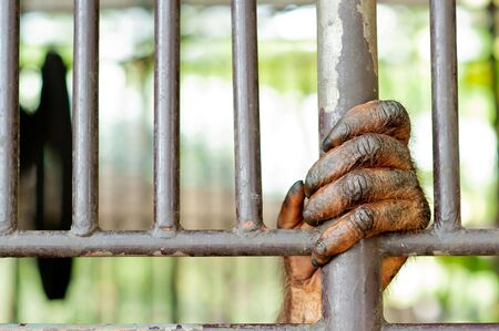 cage gorilla: Old Orangutan hand in the old grunge cage Stock Photo