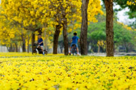 yellow flower tree: Out focus Boy ride bicycle in a park with yellow flower tree