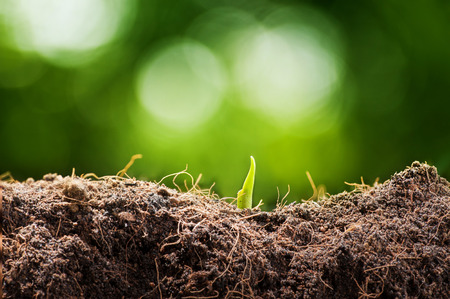 germinate: Young germinate seedling from ground Stock Photo