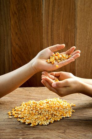 Close up yellow dry maize grain in child hand