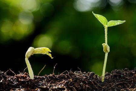Close up jeune verte gramme semis croissant sur un sol fertile de rosée de pleuvoir sur le vert bokeh. Concept jours Terre