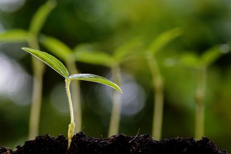 Zblízka mladé zelené gram sazenice roste na úrodnou půdu s rosou z prší na zeleném pozadí bokeh. Den Země koncept