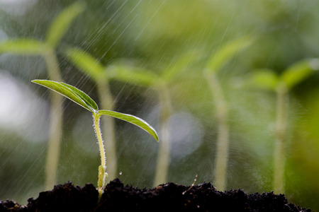 soil conservation: Close up young green gram seedling growing on fertile soil with dew from raining on green bokeh background. Earth day concept