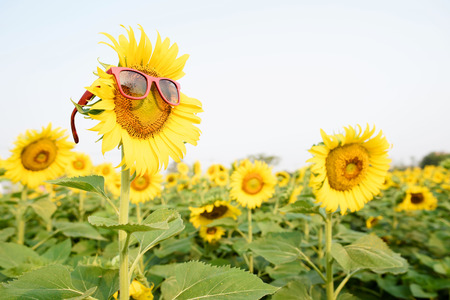 giant sunflower: Selective focus on red sun glass on the giant sunflower in the field. Stock Photo