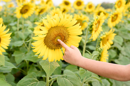 giant sunflower: Selective focus on the giant sunflower in the field.