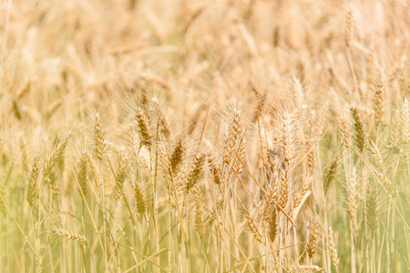 panicle: Warm tone, selective focus on the wheat panicle on the dry field waiting for harvest in the summer season.