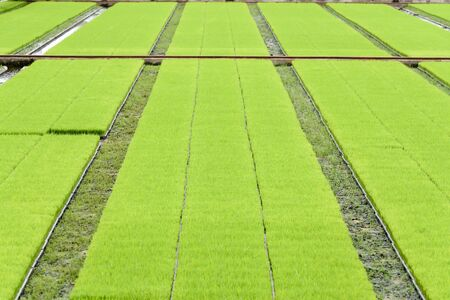 Selective focus a row of Young rice seedling in tray that prepare for tranplanting machine with new technology.