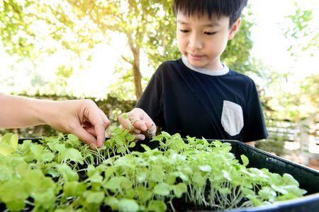 Selective focus at children hand pick and harvest little seedling of vegetable from black soil in home garden. Stock Photo