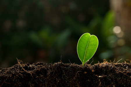 Selective focus on Little seedling plant growing in black soil during summer morning sunlight. Earth day concept. 版權商用圖片