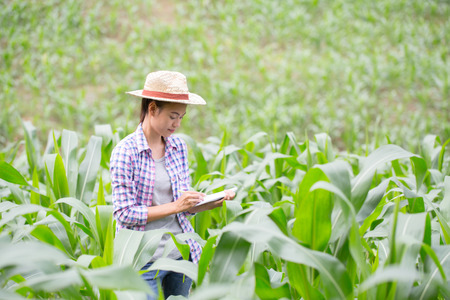 Agronomist examining plant in corn field,  farmer  analyzing corn plant.