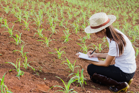 Agronomist examining plant in corn field, Female researchers are examining and taking notes in the corn seed field.
