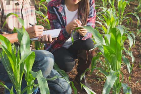 Agronomist examining plant in corn field, Couple farmer and researcher analyzing corn plant. Foto de archivo