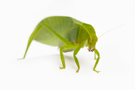 Green locust isolated on white background, Grasshopper, insect
