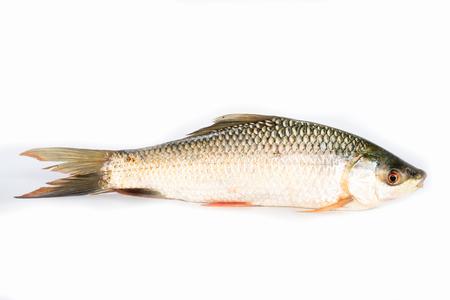 Nile tilapia fish isolated on white background, fish meat. Yisok fish, Imagens