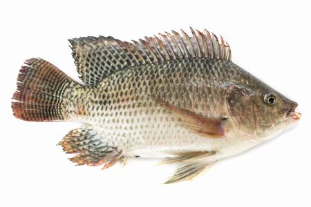 Nile tilapia fish isolated on white background, fish meat.