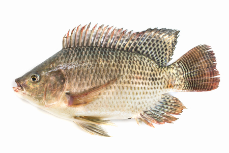 Nile tilapia fish isolated on white background, fish meat.