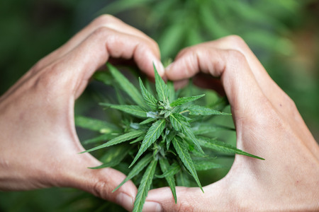 Womans hand holding a young growing cannabis marijuana leaf inside a green house. Marijuana care concept