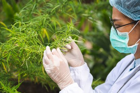 Portrait of scientist  checking hemp plants in a greenhouse. Marijuana research, cbd oil, alternative herbal medicine concept,  pharmaceutical industry. Stock Photo