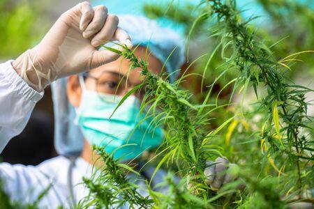 Portrait of doctor checking and analyzing hemp plants, Marijuana research, cbd oil, Concept of herbal alternative medicine.