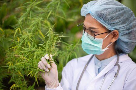 Portrait of doctor checking and analyzing hemp plants, Marijuana research, cbd oil,  Concept of herbal alternative medicine. Stock Photo