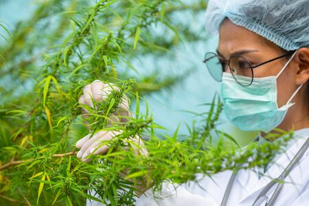 Cannabis research, Cultivation of marijuana (Cannabis sativa), flowering cannabis plant as a legal medicinal drug, herb, ready to harvest Stock Photo