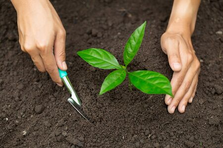 Hands of farmer growing and nurturing tree growing on fertile soil,  environment Earth Day In the hands of trees growing seedlings,  protect nature  版權商用圖片