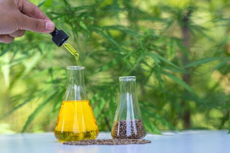 The hands of scientists dropping marijuana oil for experimentation and research, Concept of herbal alternative medicine, cbd hemp oil, pharmaceptical industry.