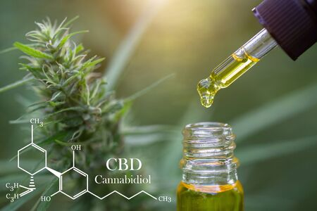 CBD elements in Cannabis,  droplet dosing a biological and ecological hemp plant herbal pharmaceutical cbd oil from a jar. Concept of herbal alternative medicine.