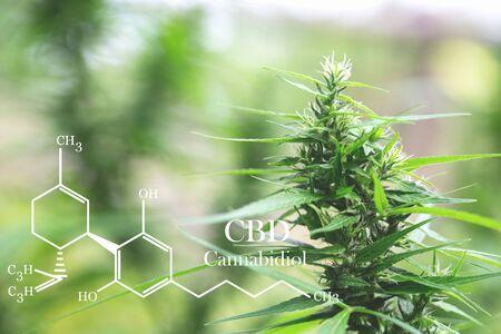 cannabinoids in marijuana CBD elements, researching hemp oil extracts for medical purposes. Reklamní fotografie
