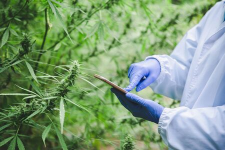 Marijuana research, scientist checking and analyzing hemp plants, signing the results with laptop in a greenhouse. Concept of herbal alternative medicine, cbd hemp oil, pharmaceutical industry