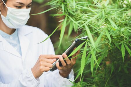 Female scientist checking and researched cannabis plants. marijuana  alternative herbal medicine concept. Zdjęcie Seryjne