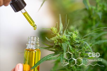 CBD elements, The hands of scientists dropping marijuana oil for experimentation and research, ecological hemp plant herbal pharmaceutical cbd oil from a jar.
