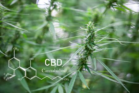 CBD formula. Growing Marijuana,  cannabinoids and health, medical marijuana, CBD and THC elements in Cannabis.