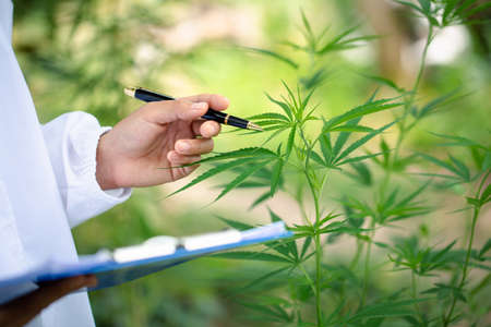 scientist checking and analizing hemp plants, The doctor is researching marijuana. Concept of herbal alternative medicine, cbd hemp oil, pharmaceutical industry