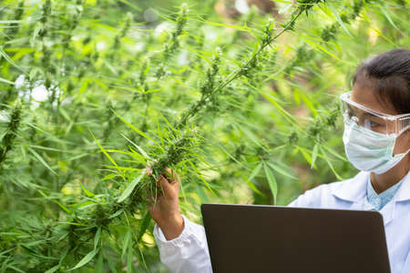 Portrait of scientist with mask checking hemp plants in a greenhouse. Concept of herbal alternative medicine, CBD cannabis oil. 版權商用圖片 - 151343103